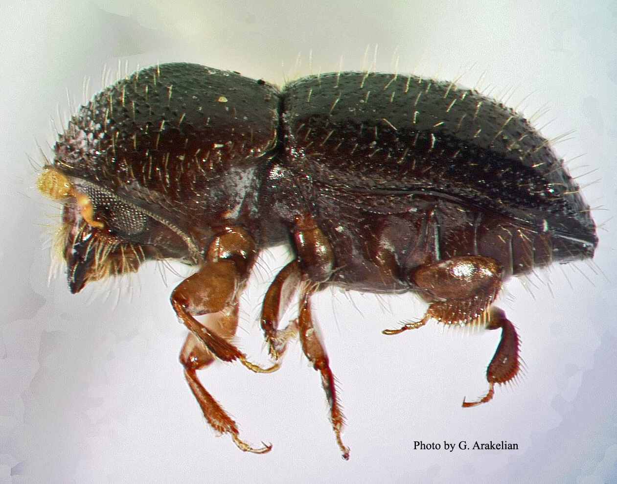 shot hole borer beetle