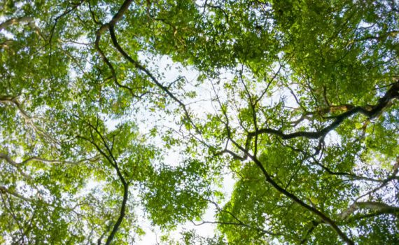 Photo looking up into lush canopy of green trees