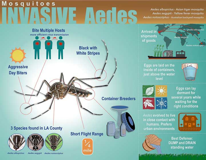 New Invasive Mosquito Species Found In Pasadena Office Of The City Manager